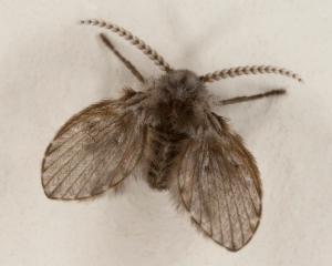 Clogmia_Albipunctata_or_moth_fly
